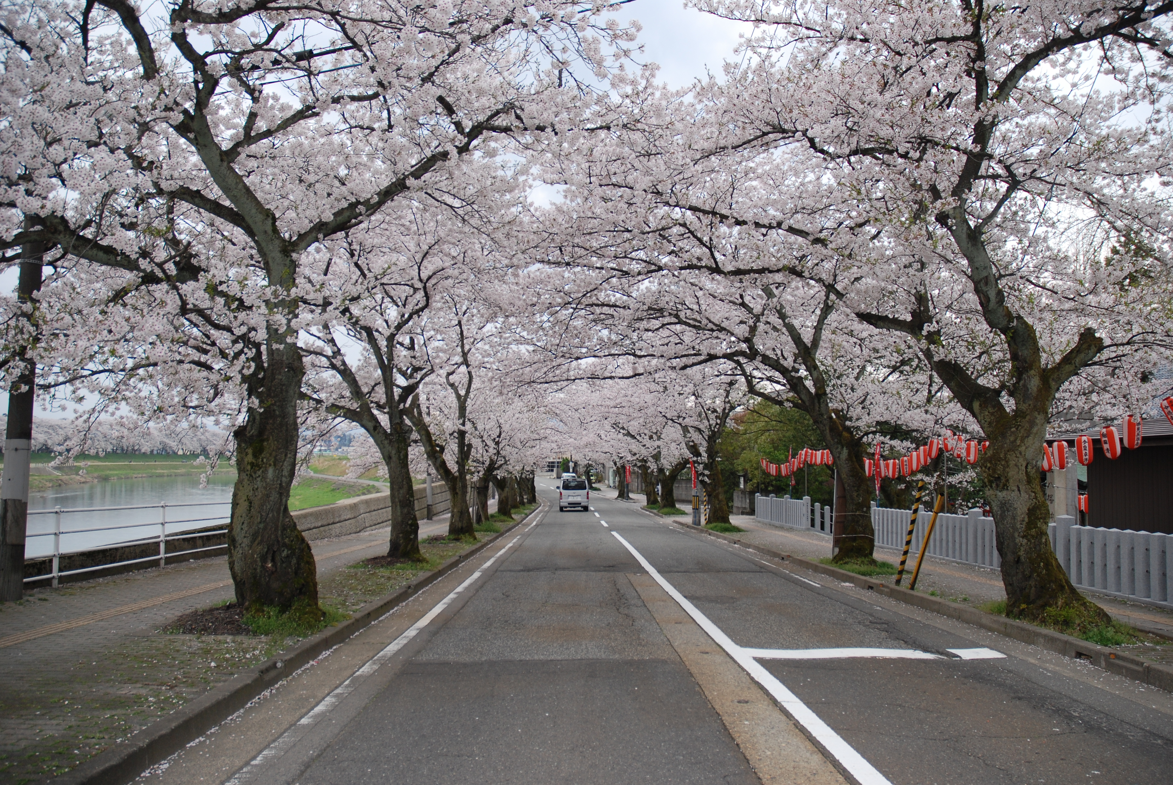 Cherry blossoms in my town   The Spirit of Japan