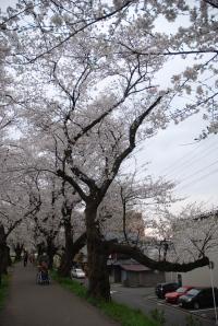Cherry blossoms in Asuwa, Fukui City