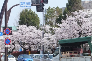 Cherry Blossoms on Sakura Douri