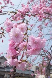 Cherry Blossoms in Asuwa, Fukui