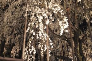 Cherry Blossoms in Fujishima Temple, Fukui