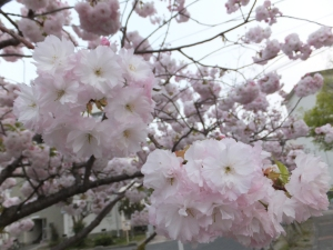 Yae-Zakura in My Neighborhood